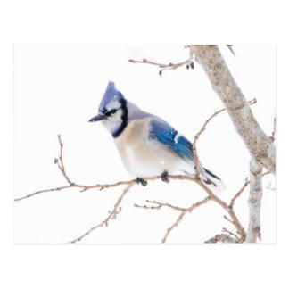 Wichita County, Texas. Blue Jay5 Postcard