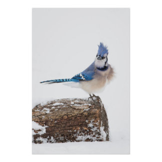 Wichita County, Texas. Blue Jay 1 Poster