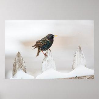 Wichita County, Texas. European Starling Poster