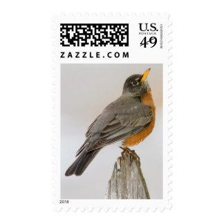 Wichita Falls, Texas. American Robin Postage