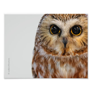 Wide-Eyed with Wonder: Saw Whet Owl Photo Print