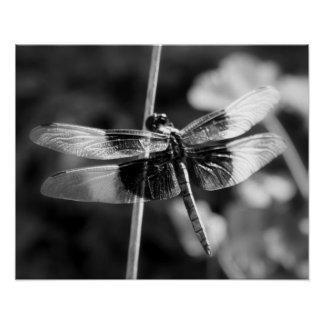 Widow Skimmer Dragonfly Black & White Photography Posters