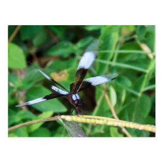 Widow Skimmer Dragonfly Postcard