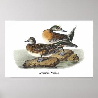Wigeon americano Juan Audubon Posters