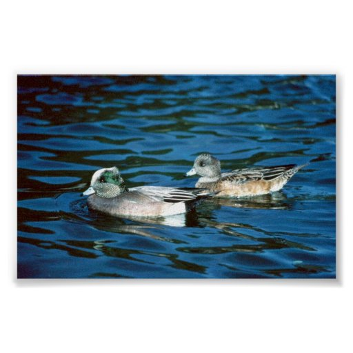 Wigeon Duck Posters