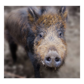 Wilbur the Iron Age pig Print