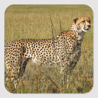 Wild African Cheetah in Savannah Grasses Square Stickers