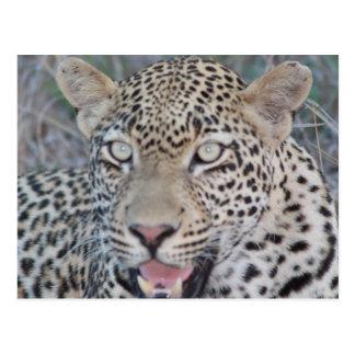 Wild African Leopard Eyes Postcard