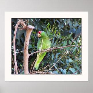 Wild Amazon Parrot Print
