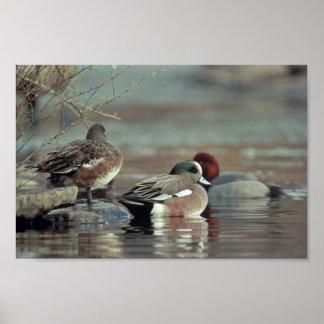 wild american wigeon duck poster