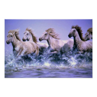 Wild and free, Camargue Horses Poster