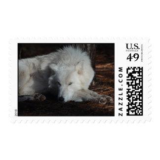 Wild Arctic Wolf Postage Stamp