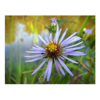 Wild Aster at the Pond Postcard