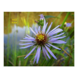 Wild Aster Poster