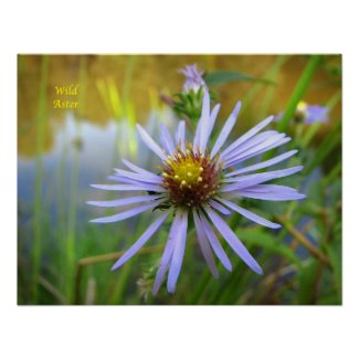 Wild Aster Posters