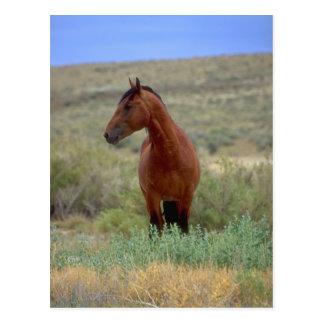 Wild Bay Horse, Wyoming Postcard