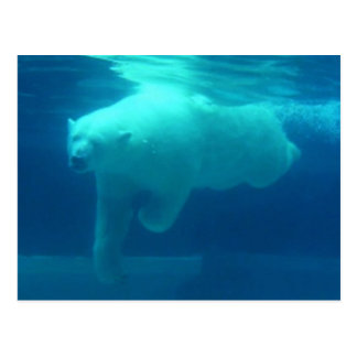 Wild Bears Postcard