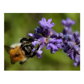 Wild bee on lavender postcard
