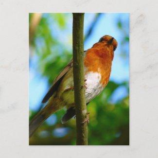 WILD BIRDS - ROBIN postcard