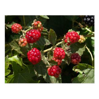 Wild Blackberries Postcard