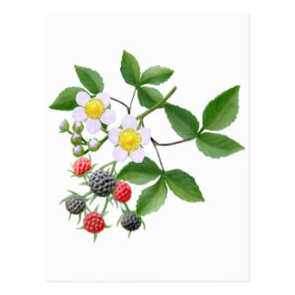 Wild Blackberries Postcard