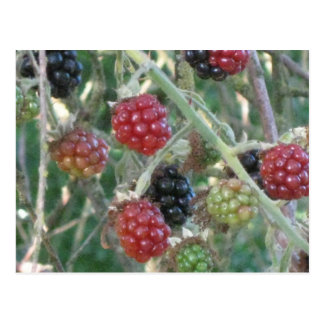 Wild Blackberries ! Postcard