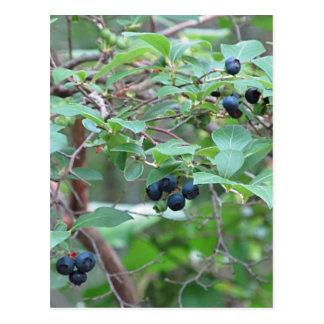 Wild Blueberries Postcard