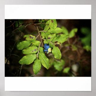 Wild Blueberries Print