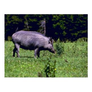 Wild Boar Postcards