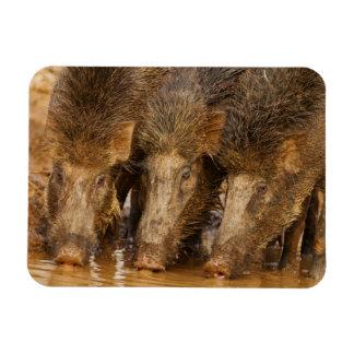 Wild Boars drinking water in the waterhole Magnet