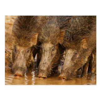 Wild Boars drinking water in the waterhole Post Cards