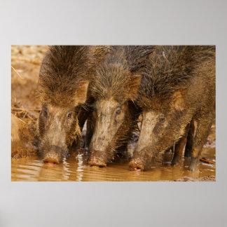 Wild Boars drinking water in the waterhole Poster