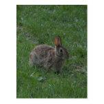 Wild Bunny Rabbit Postcard