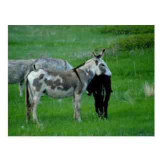 Wild Burros South Dakota Postcard