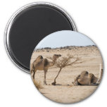 Wild Camels Magnets