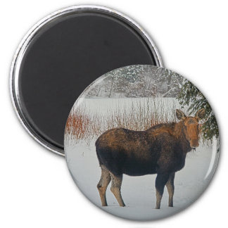 Wild Canadian Moose Cow in Winter Snow 2 Inch Round Magnet