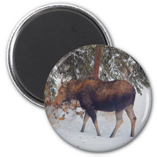 Wild Canadian Moose Cow in Winter Snow V 2 Inch Round Magnet