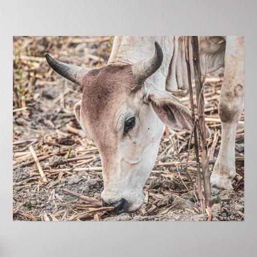 Wild Cattle // Close Up Grazing