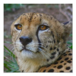 Wild Cheetah Poster