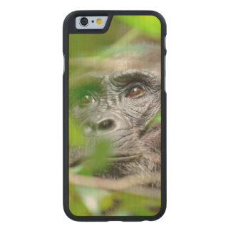 Wild Chimpanzee (Pan Troglodytes) Looking Carved Maple iPhone 6 Case