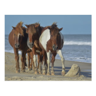 Wild Chincoteague Ponies, Assateague Island Beach Postcard