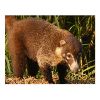 Wild Coati Mundi Postcard