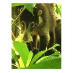 Wild Coati Postcard