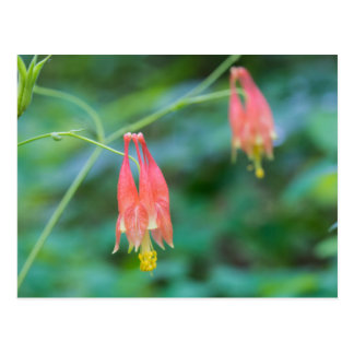 Wild Columbine Red Wildflowers Postcard