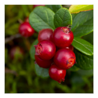 Wild Cowberry Poster