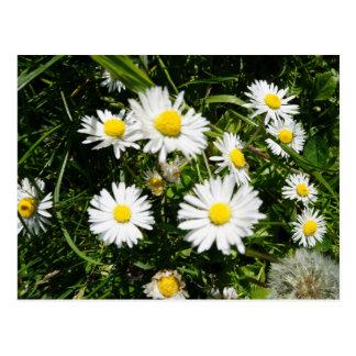Wild daisies - postcard