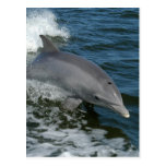 Wild Dolphin Postcard