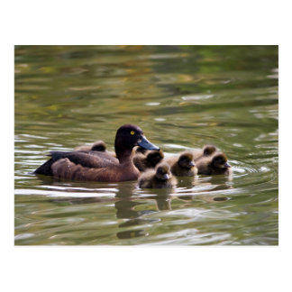 Wild duck family postcard