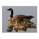 Wild duck family postcard