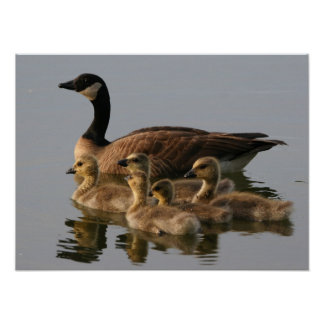 Wild duck family poster